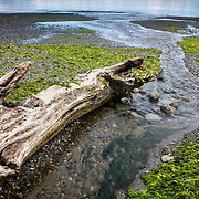 Thick patches of seaweed, a type of algae, line South Creek near the point where it empties into Puget Sound in Seahurst Park, Burien, Washington.