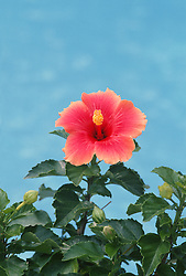 Hibiscus flower in Bloom