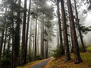 Fir tree forest with fog in southern France