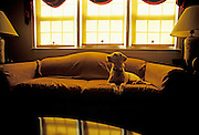 Image of dog sitting on couch, English setter pointer mix, property released