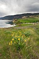 Arrowleaf Balsamroot (Balsamorhiza sagittata) blooming in Kekuli Bay Provincial Park on Kalamalka Lake near Vernon, British Columbia, Canada