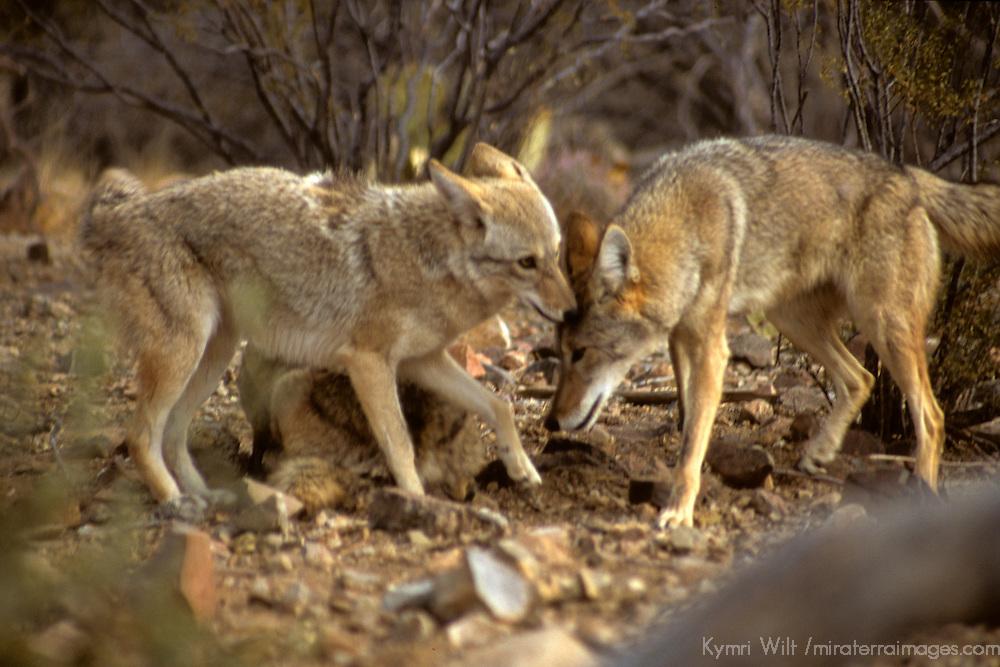 North America, Americas, USA, United States, Arizona. Coyotes at the Arizona-Sonora Desert Museum.