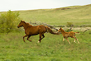 Quarter Horses, mare and foal running<br /> PROPERTY RELEASED