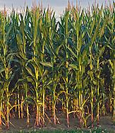 Corn, New York, Water Mill, Hamptons, Long Island