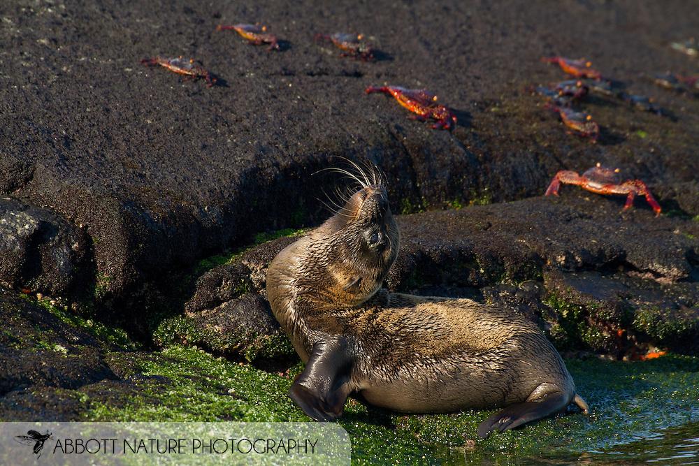 Galapagos Sea Lion (Zalophus californianus wollebaeki or Zalophus wollebaeki) pup<br /> ECUADOR: Galapagos Islands<br /> Punta Espinosa on Fernandina Island<br /> 25-Aug-2010<br /> J.C. Abbott