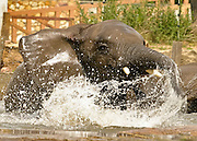 28.06.2006 Warsaw Poland. Elephants playing and bathing in ZOO park, photo Piotr Gesicki