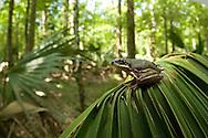 Squirrel Treefrog (Hyla squirrella), Jean Laffitte National Park, Louisiana