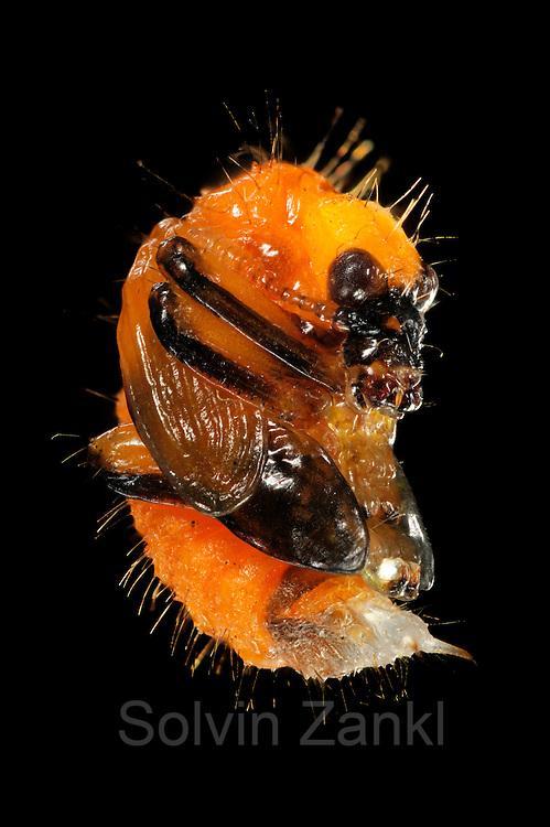 [captive] [Digital focus stacking] Beetle pupa of Hazel Leaf-roller Weevil (Apoderus coryli) Westensee, Germany | Im späteren Puppenstadium des Haselblattrollers (Apoderus coryli) zeigen sich schon die dunkleren Farben des sich entwickelnden Käfers. Beine, Flügel, Antennen, Augen und Mundwerkzeuge werden erkennbar.