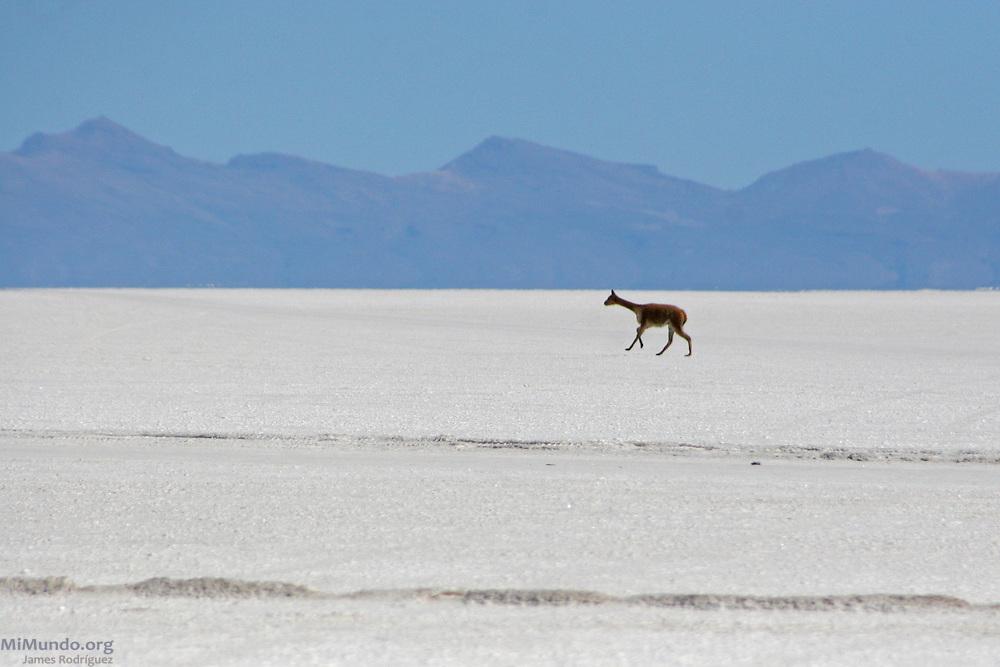 A Llama runs across the Salar de Uyuni, the world's largest salt flat. The Salar de Uyuni sits at 3,600 meters above sea level and has a total surface area of 10,582 square kilometers.