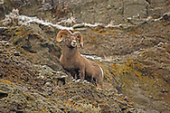 Rocky Mountain bighorn sheep can be found in mountainous areas from Canada south to New Mexico. Although famous for their ability to inhabit high mountain slopes, bighorns can also thrive outside the mountains as long as precipitous cliffs are available to allow for escape from predators.