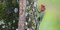 Colorful male Oriental Garden Lizard (Calotes versicolor) on a tree trunk, Sinharaja Forest Reserve, Sri Lanka