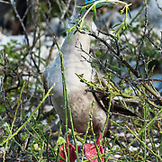 "The Red-footed Booby (Sula sula) is a large seabird of the gannet family, Sulidae. Photo is from Isla Genovesa (or Tower Island, or Bird Island), a shield volcano in the Galápagos Islands, in the eastern Pacific Ocean. Sula sula breeds in colonies and is found widely on tropical islands. The Red-footed Booby is the smallest of all boobies at 71 cm in length and with a 137 cm wingspan, and has red legs with pink and blue bill and throat pouch. They are powerful and agile fliers but clumsy in takeoffs and landings. The brown morph of this species is brown with a white belly, rump, and tail. The white morph is mostly white with black on the flight feathers. Young birds are greyish with browner wings and pink legs. The sexes appear similar. National Park visitors follow licensed guides up the steep path of Prince Philip's Steps (up a cliff 25 meters vertically) to seabird colonies full of life amidst a thin palo santo forest growing in a rocky desert plain. Published in ""Light Travel: Photography on the Go"" book by Tom Dempsey 2009, 2010."