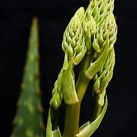 Aloe vera flower, Sarasota, Florida