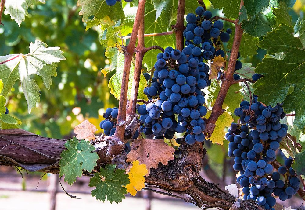 Grapevine in Napa, California.
