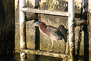 A Green Heron perches on a rusty ladder going up the side of a concrete dock on Key West, waiting for an unwary fish to pass.