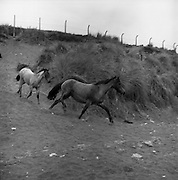 Connemara Pony 'Ocean Breeze' with her 4 month old foal at Portmarnock Strand and Malahide..23.07.1964