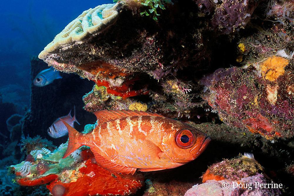 bigeye or glasseye snapper, Heteropriacanthus cruentatus, New Guinea Reef, St. Vincent or Saint Vincent, West Indies ( Caribbean Sea )