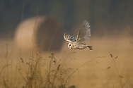 Barn Owl (Tyto Alba) adult flying over farmland, Norfolk, UK.