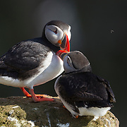 An Atlantic Puffin (Fratercula arctica) rub bills together in Látrabjarg, Iceland. Normally solitary birds, Atlantic Puffins nest each summer in large colonies. A nesting pair rubs their bills together to establish their relationship, a practice known as billing. About 60 percent of the Atlantic Puffins nest in Iceland.