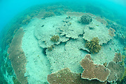 A badly damaged plate coral growing in shallow water, Gili Trawangan, Lombok, Indonesia.