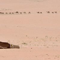Camels coming to well at Taweelah, Saudi Arabia