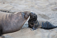 Mother elephant seal and pup bond on beach at Piedras Blancas, CA