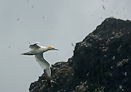Northern gannets (Morus Bassanus) flying overhead on St Kilda, one of the largest colonies of gannets in the north-east Atlantic with around 60,000 birds. St Kilda archipelago, Outer Hebrides, Scotland.