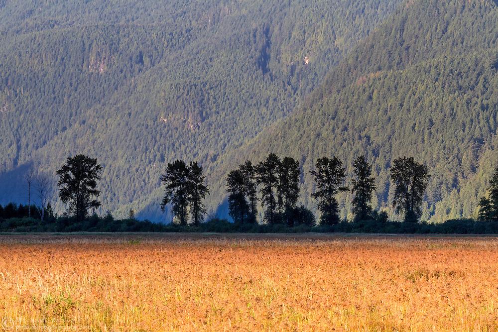 A row of Black Cottonwood trees (Populus balsamifera ssp. trichocarpa) stand along the dike at the Pitt-Addington Marsh near sunset - in Pitt Meadows, British Columbia, Canada