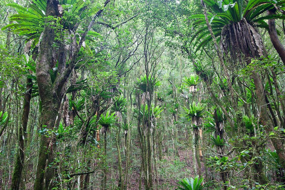 Birds nest ferns in Barrington Tops National Park, Australia