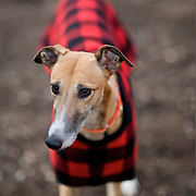 Greyhound Rescue Fostering