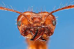 [Digital focus stacking] Blattschneiderameisen (Atta cephalotes )