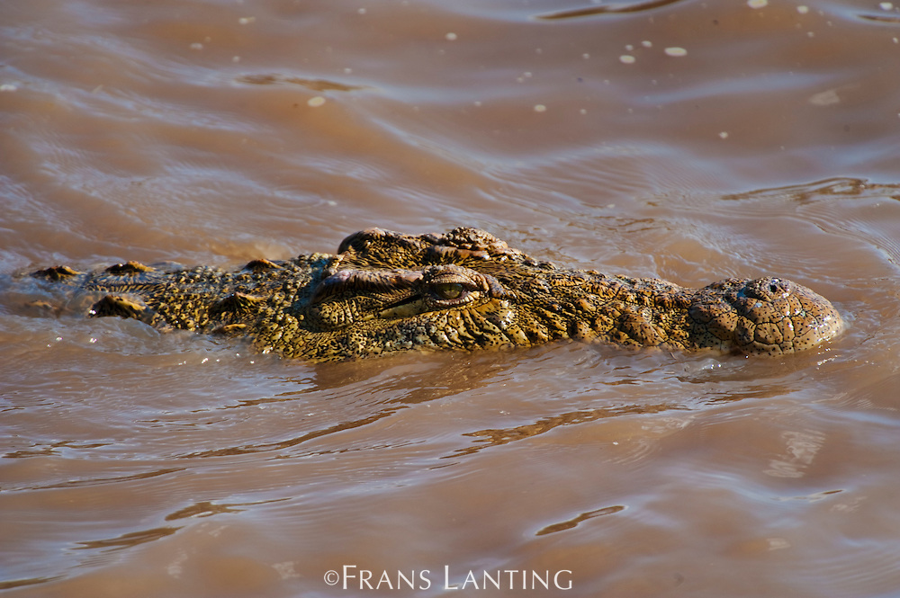Nile crocodile, Crocodylus niloticus, approaching wildebeest during Mara river crossing, Masai Mara National Reserve, Kenya