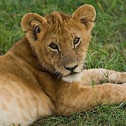 Lion cub lying in grass, Masai Mara, Kenya