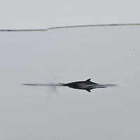 A Southern Minke Whale in McMurdo Sound, Antarctica.