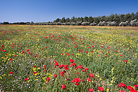 Red Poppy Flowers (Papaver rhoeas) in a field, Andalucia, Spain