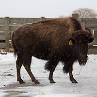 North America, USA, Illinois, Batavia. American Bison in snow at Fermilab, Batavia, Illinois.
