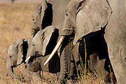 Young elephants find security between two of the adults in the herd.
