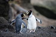 Eudyptes sclateri (Erect-crested penguin)