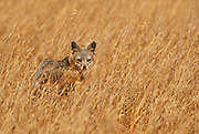 350606-1006C ~ Copyright:  George H. H. Huey ~ Island fox [Uricyn littoralis] [threatened species].  A subspecies that occurs only on San Miguel Island and may number less than 100 today. Channel Islands National Park, California.