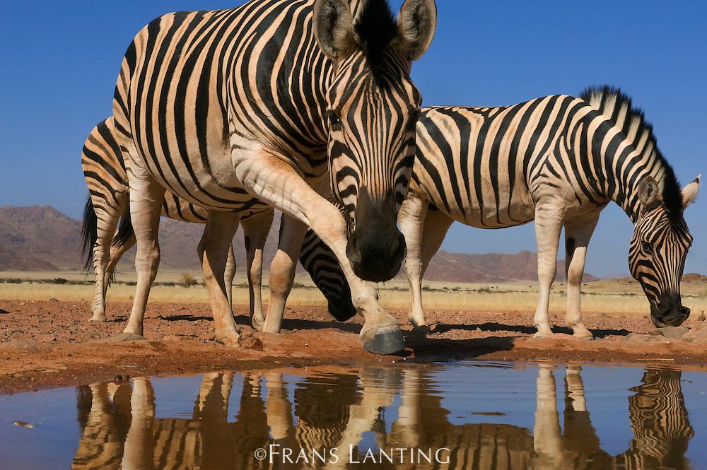 Zebras at waterhole, Equus quagga, NamibRand Nature Reserve, Namibia