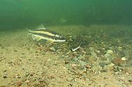 White Sucker (spawning)<br /> <br /> Roger Peterson/ENGBRETSON UNDERWATER PHOTO