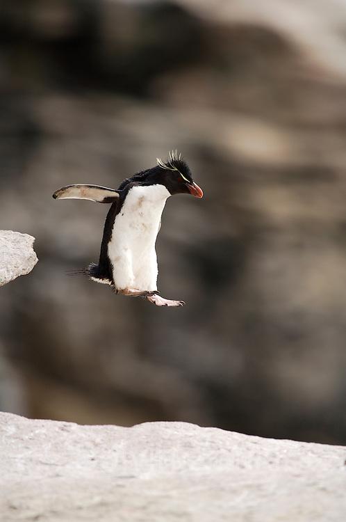 Der kleine Traum vom Fliegen: Felsenpinguine (Eudyptes chrysocome) sind mutig und gewandt im felsigen Terrain unterwegs.| A penguin' s flight: unafraid the rockhopper penguins (Eudyptes chrysocome) move  in the rocky terrain, daring even big jumps.  [size of single organism: 50 cm]