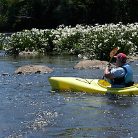 Paddling among the rare Rocky Shoals Spider Lilies, Landsford Canal State Park. The lilies bloom for a few weeks each spring. This is one of the largest populations of these lilies in the world and is a popular paddling destination in the spring.