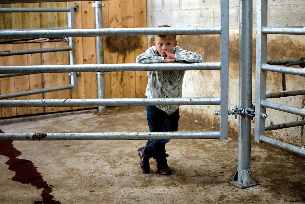 Un jeune garçon de passage à la ferme avec son père observe avec fascination un bovin dont l'une des cornes vient d'être coupée par le vétérinaire. Le bovin se l'était à moitié arraché lui-même. Lycée agricole Jacques Bujault. Melle, Poitou-Charentes, automne 2010.