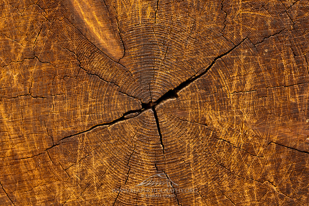 Cross-section of a sequoia tree, with tree rings depicting the age of the tree.