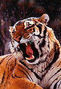 Image of a growling sibertian tiger in the snow, property released