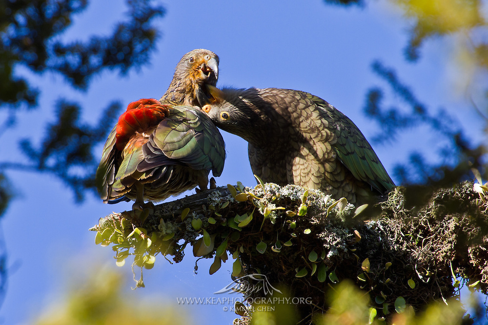 Who says kea parrots aren't ticklish?  New Zealand's cheeky keas show their playful side, as one kea scratches the chin of its friend.