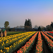 Tulip Farm, OR