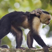 Adult and juvenile Brown Capuchin Monkey (Cebus paella), Osa Peninsula, Costa Rica