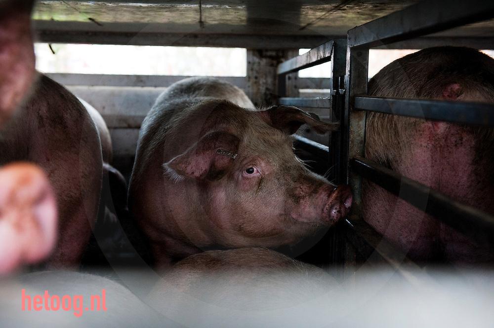 Nederland, groenlo 18jan2011 Varkens op transport naar het slachthuis, VION, i  Groenlo waar boze twentsche varkenshouders blokkeren de poort van slachterij VION in Groenlo om een betere prijs voor varkensvlees af te dwingen. foto: Cees Elzenga/HH